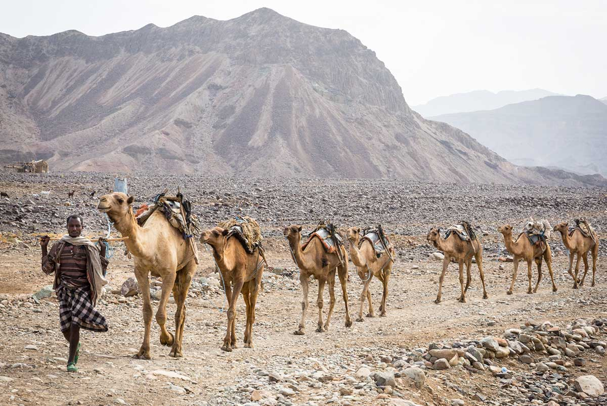 seven camels in a row being led by man in Casa Blanca desert