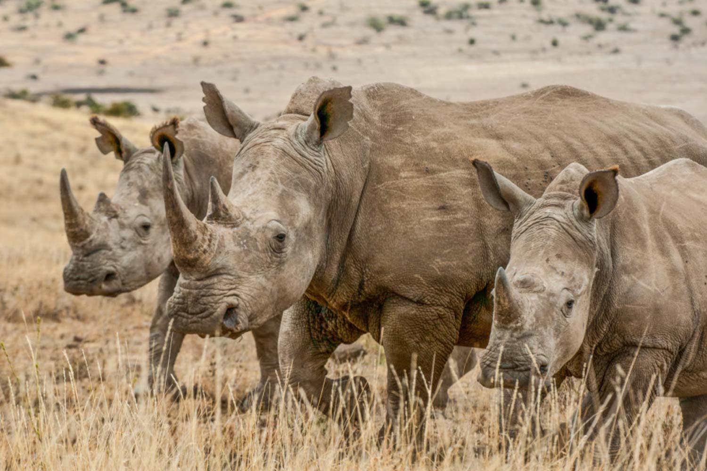 three rinos