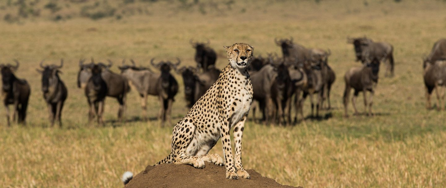 cheetah sat on dirt mound in front of group of animals in the wild